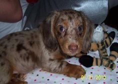 Long-haired Dauchsund~    @Ariel Maxie     how about this one? isnt it cute??