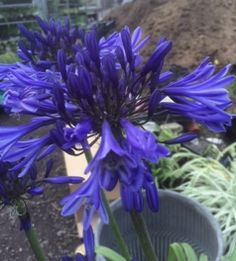 Agapanthus Midnight Star - Also known as Navy Blue Plants, Landscape, Agapanthus, Flowers, Daylilies, English Garden, Plant List, Garden Landscaping, Garden
