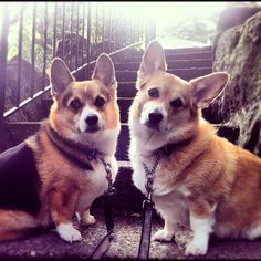Corgi's are seriously the best dogs ever I can't even describe.