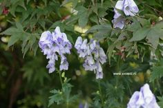 Aconitum 'Cloudy'