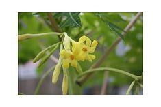 Amazon.com : Carica papaya Tree 15 Seeds Dwarf Papaya Yellow Star flowers Perfect for container gardening Standard Growing Houseplant Easy to Grow : Garden & Outdoor