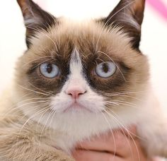 Grumpy Cat Just Got A Hollywood Movie Deal - Photo taken in 2013.