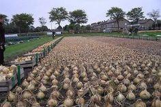 Не пробовали посадить лук китайским способом? — БУДЬ В ТЕМЕ