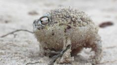 Alongside being animate squeaky dog toys Desert Rain Frogs of Namibia are unusual amongst amphibians in that they don't produce tadpoles - instead they bury their eggs in damp sand which then hatch into near fully-formed lil' froglets. Screaming Frog, Le Cri, Cute Frogs, Funny Frogs, Frog And Toad, Reptiles And Amphibians, Dog Toys, Fun Facts, Cute Animals