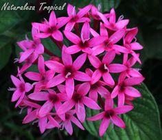 Flores de la planta conocida como Estrellita de Jardín, género Pentas