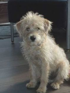 Hollandse Smoushond Terrier Mix Dogs, Terriers, Wheaten Terrier, Pitbull Terrier, Cute Puppies, Dogs And Puppies, Pet Dogs, Dog Cat, Cutest Animals