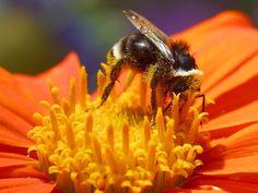 Che ci crediate o no, le api sono il fondamento della catena alimentare umana; in altre parole, senza api non saremmo in grado di mangiare. Sì, quelle che