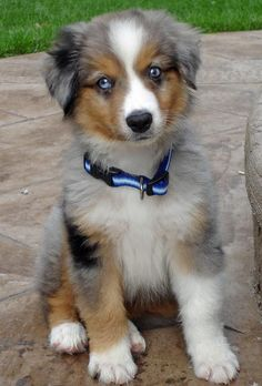 miniature australian shepherd, me and my boyfriend are getting one of these in a couple weeks! His name is going to be Bandit, and he has two different colored eyes, he is adorable!