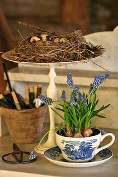 Fun idea for the Easter table: force small bulb plants in a cup and saucer.