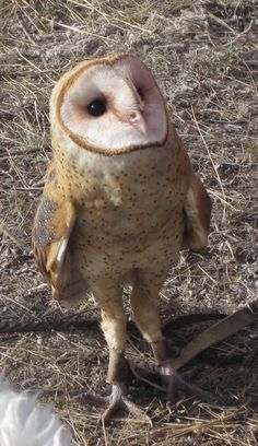 Barn Owl 'ready for his soliloquy'