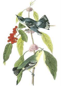 I LOVE Audubon pictures. John James Audubon (1785-1851).