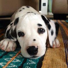 I want a Dalmatian!