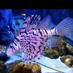 Lionfish.  I know he really likes these.