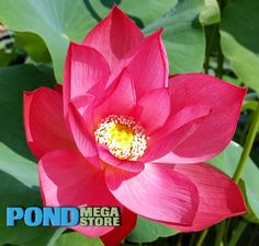 Red Sun bowl lotus  Pond megastore $36