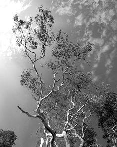 Reach for the sky  #tree #blackandwhite #tonesofplace #kukutali #nature #pnw #pnwcollective #pacificnw #wa #washington #pnwonderland #thatpnwlife #upperleftusa #pnwwonderland #pacificnorthwest #komoLOZ #wildlycreative #ourpnw