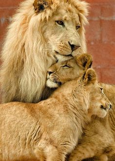 Family Pride of Lions. Absolutely beautiful.