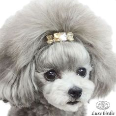 30 Different Dog Grooming Styles - Tail and Fur Poodle Grooming, Dog Grooming Styles, Grooming Salon, Pet Grooming, Poodle Cuts, Dog Haircuts, Japanese Dogs, Different Dogs, Yorky