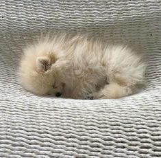 Snoozing Pomeranian pup...Awww