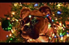 boxer dogs Christmas - Google Search