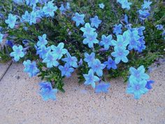 Lithodora: Evergreen and Electric Blue Radiance Easy To Grow Beautiful, Durable Plant (great post & tips)