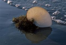 Paper Nautilus
