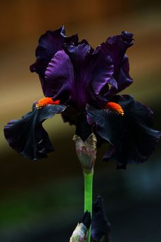 Iris 'Draculas Kiss' OMG is this not like such a cool looking iris? I love Iris, so I'd really love to have this bulb! Iris Flowers, Black Flowers, Exotic Flowers, Amazing Flowers, My Flower, Flower Power, Planting Flowers, Beautiful Flowers, Flower Ideas