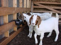 Our Boer goats enjoying their grain...