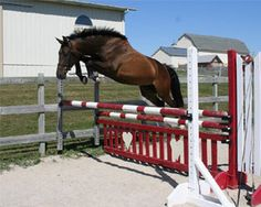 The modern Trakehner is a true sports horse, being without a doubt the most important and influential of all warmblood breeds. They are renowned for their grace, power, magnificent movement, natural jump, outstanding beauty, tremendous stamina, ability to perform in any sphere and natural balance and free movement.