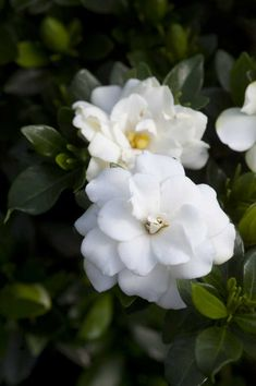The Double mint gardenia is a remarkably easy plant to grow and it pays you over and over with its breathtaking flowers. Don't just dream about this beautiful plant and its room-filling perfume - order some today to have a great show in your own home. (zones 7-9)