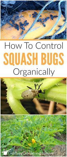 Squash bugs can cause major damage to squash plants in the garden, but they are easy to control. Learn how to control squash bugs organically. #gardenpestcontrol