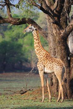 giraffeconservation.org
