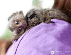 Finger Baby Marmoset Monkeys For Adoption for Sale in Dubai - Other in Dubai, UAE Baby Monkey Pet, Tiny Monkey, Cute Monkey, Cute Little Animals, Little Monkeys, Cute Funny Animals, Cute Cats, Marmoset Monkey For Sale, Types Of Monkeys