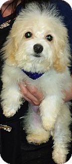 Thousand Oaks, CA - Maltese/Poodle (Miniature) Mix. Meet Kendall, a puppy for adoption. http://www.adoptapet.com/pet/12310823-thousand-oaks-california-maltese-mix