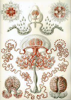 Anthomedusae :: ERNST HAECKEL:: artist and biologist