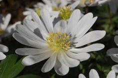 Anemone blanda 'White Splendour' Flower (16/03/2014, Kew Gardens, London)