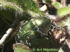 Kuvahaun tulos haulle kuparikuoriainen