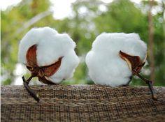 my cotton blossoms!!