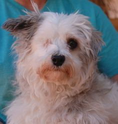 Chicklet is a darling little lady seeking a calm, peaceful home environment.  She is a Maltese mix, about 8 years of age, spayed, and debuting for adoption today at Nevada SPCA (www.nevadaspca.org).  Chicklet gets along well with other dogs, but needs to be fed separately because she is protective of her food.  We rescued her from another shelter and tried to save her badly injured right eye (from unknown cause), but she is adjusting fine to life now with one eye.
