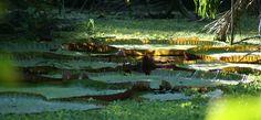 Peru, Iquitos, planta Reina Victoria. foto de google