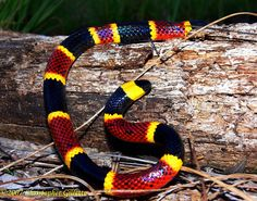 """Coral Snake. Generally true -- but not for a  species of coral snakes that features different colors -- is the rhyme """"Red touch yellow, kill a fellow. Red touch black, venom lack."""""""