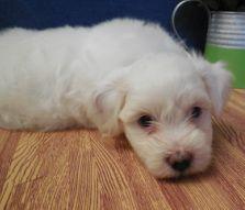 Eli, a 2 Cute Havanese puppy