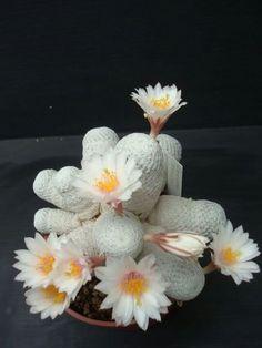 Mammillaria herrerae ssp. Albiflora