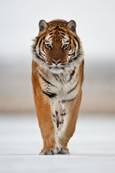 The Siberian Tiger is the biggest cat on the planet. Males can weigh 50 stone. These huge predators can tolerate temperatures of up to 40 below.