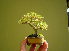Bonsai miniature informal upright