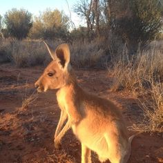 this is from FB - The Kangaroo Sancturay - Alice Springs - Australia. Please support Brolga!.