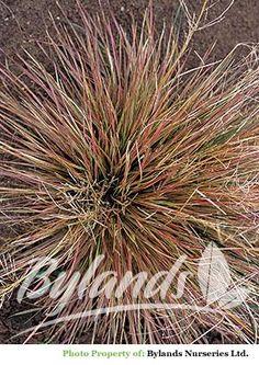 Bronze Veil Tufted Hair Grass - Deschampsia caespitosa 'Bronzeschleier' | Bylands Nurseries Ltd.