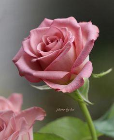 ⚜️The Best Rose of the Beautiful Rose Flowers, Love Rose, Exotic Flowers, Amazing Flowers, Beautiful Flowers, Beautiful Body, Pink Roses, Pink Flowers, Orquideas Cymbidium