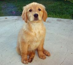 golden cocker retriever full grown - Google Search