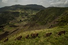 Picture of a group of geladas walking in a line along the slopes of the great rift valley