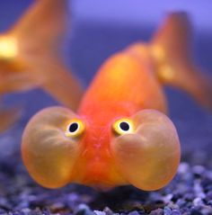 bubble eyed goldfish... my way of saying keep looking up!!!